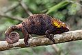 Chameleon in Andasibe.jpg