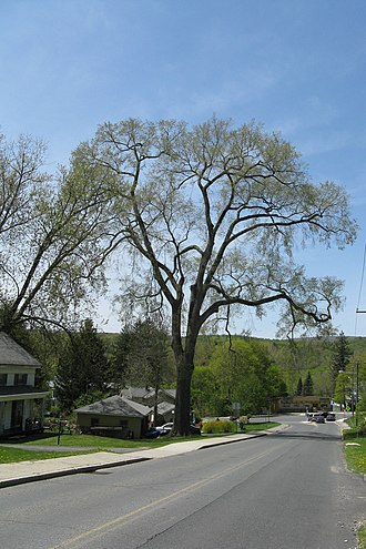 Lanesborough, Massachusetts - The Champion Elm