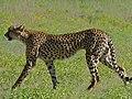 Cheetah Male (Acinonyx jubatus) (6856968798).jpg