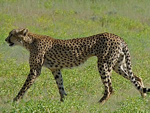 Cheetah - Male