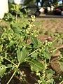 Chenopodium vulvaria sl26.jpg