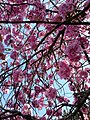 Cherry Blossom, Styal Road, Moss Nook, Manchester.jpg