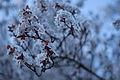 Cherry Blossoms, Arbutus Ridge Kerrisdale Mackenzie Heights Vancouver (4405549332).jpg