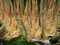 Chica - Funeral (Cycas revoluta) - Flickr - Alejandro Bayer (2).jpg