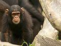 Chimpanzee IV (13968482163).jpg