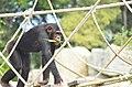 Chimpanzee on the rope bridge.jpg
