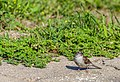 Chipping Sparrow (43822805891).jpg