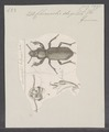 Chiroscelis - Print - Iconographia Zoologica - Special Collections University of Amsterdam - UBAINV0274 027 45 0002.tif