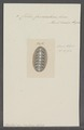 Chiton fascicularis - - Print - Iconographia Zoologica - Special Collections University of Amsterdam - UBAINV0274 081 06 0011.tif