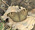 Chocolate Pansy Junonia iphita at Kanha Tiger Reserve, Madhya Pradesh IMG 9994 (6).jpg