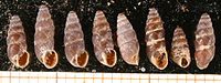 Chondrina avenacea shell.jpg