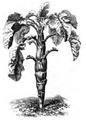 Chou moellier Vilmorin-Andrieux 1883.png