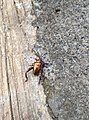 Christmas Beetle di Bali.jpg