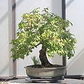 Christmas Berry bonsai 260, October 10, 2008.jpg