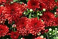 Chrysanthemum Tabitha 2zz.jpg