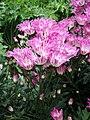 Chrysanthemum morifolium j01.jpg