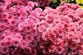 Chrysanthemum x grandiflorum Zesty Victoria 1zz.jpg
