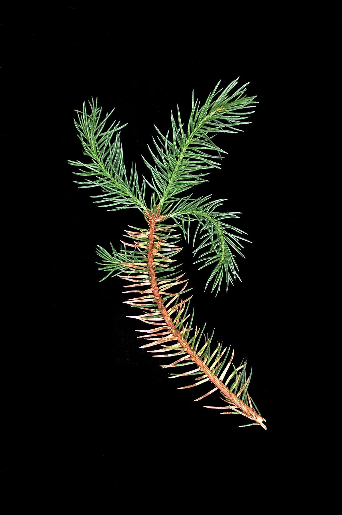 Chrysomyxa Weirii Wikipedia