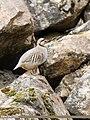 Chukar Partridge (Alectoris chukar) (46185613854).jpg