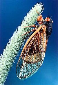 A 17-year Periodical cicada