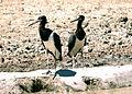 Ciconia abdimii Kalahara En Route from Grootkolk 045.jpg