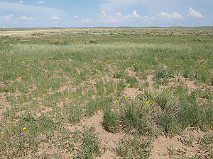 Cimarron National Grassland - Plant cover on sandy soils of the Cimarron National Grassland.