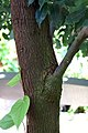 Cinnamomum camphora 1zz.jpg