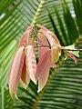 Cinnamomum malabatrum in Kadavoor.jpg