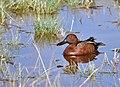 Cinnamon teal on Seedskadee National Wildlife Refuge (39978673880).jpg