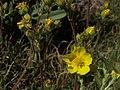 Cinquefoil, Potentilla gracilis var. fastigiata (25478408461).jpg