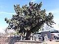 Ciprés - Colón - Entre Ríos.jpg