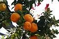 Citrus aurantium var. myrtifolia Chinotto 1zz.jpg