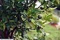 Citrus unswia Okitsu 1zz.jpg