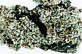 Cladonia caespiticia-7.jpg