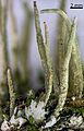 Cladonia coniocraea guwak 114 1.jpg