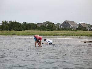 Clam digging - Two people digging for clams on Cape Cod, Massachusetts in 2008