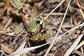 Claytonia perfoliata 9489.JPG