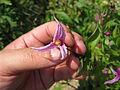 Clematis integrifolia'Hanashima'2.jpg