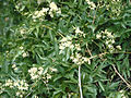 Clematis ligusticifolia 1211072 4x3.jpg