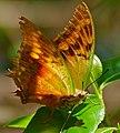 Club-tailed Emperor (Charaxes zoolina) battered specimen ... (32374213833).jpg