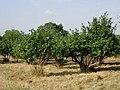 Cob Tree Orchard - Great Norman Street Farm - geograph.org.uk - 217573.jpg