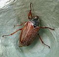 Cockchafer or May Bug. Melolontha melolontha. Scarabaeidae - Flickr - gailhampshire.jpg