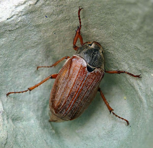 File:Cockchafer or May Bug. Melolontha melolontha. Scarabaeidae - Flickr - gailhampshire.jpg