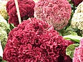 Cockscomb from Lalbagh flower show Aug 2013 8443.JPG