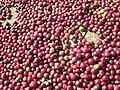 Coffee berries fresh.jpg
