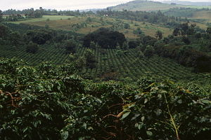 Coffee production in Tanzania - Image: Coffee plantation in Tanzania