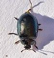 Coleoptera- Chrysomelidae- Chrysomelinae- (3186359467).jpg