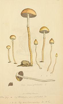 Psilocybe semilanceata - Wikipedia