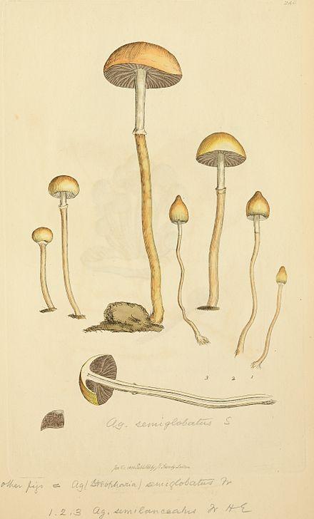 Psilocybe semilanceata - Wikiwand