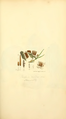Coloured Figures of English Fungi or Mushrooms - t. 50.png